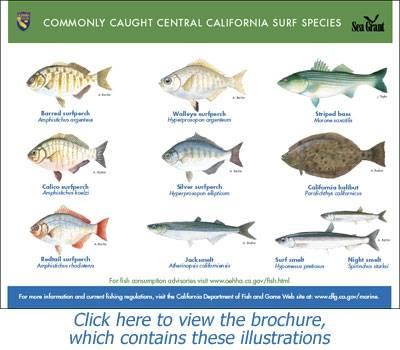 beachfishing_ccspecies.jpg