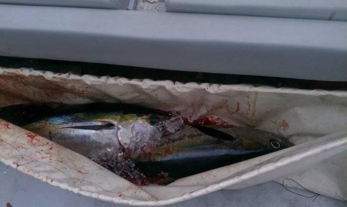 DP Tuna in the Kill Bag.jpg