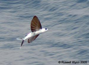 Flying_fish.jpg