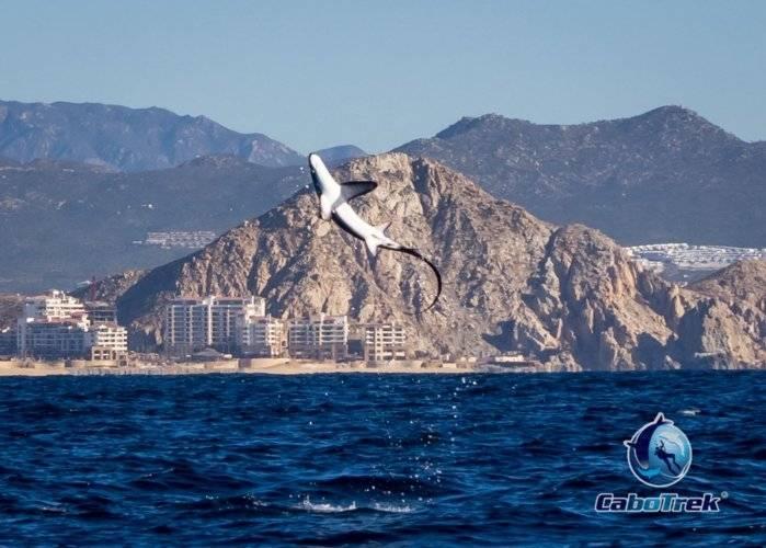 Jumping thresher shark.jpg