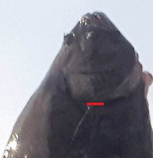 Slitting the throat Halibut 20191201.jpg