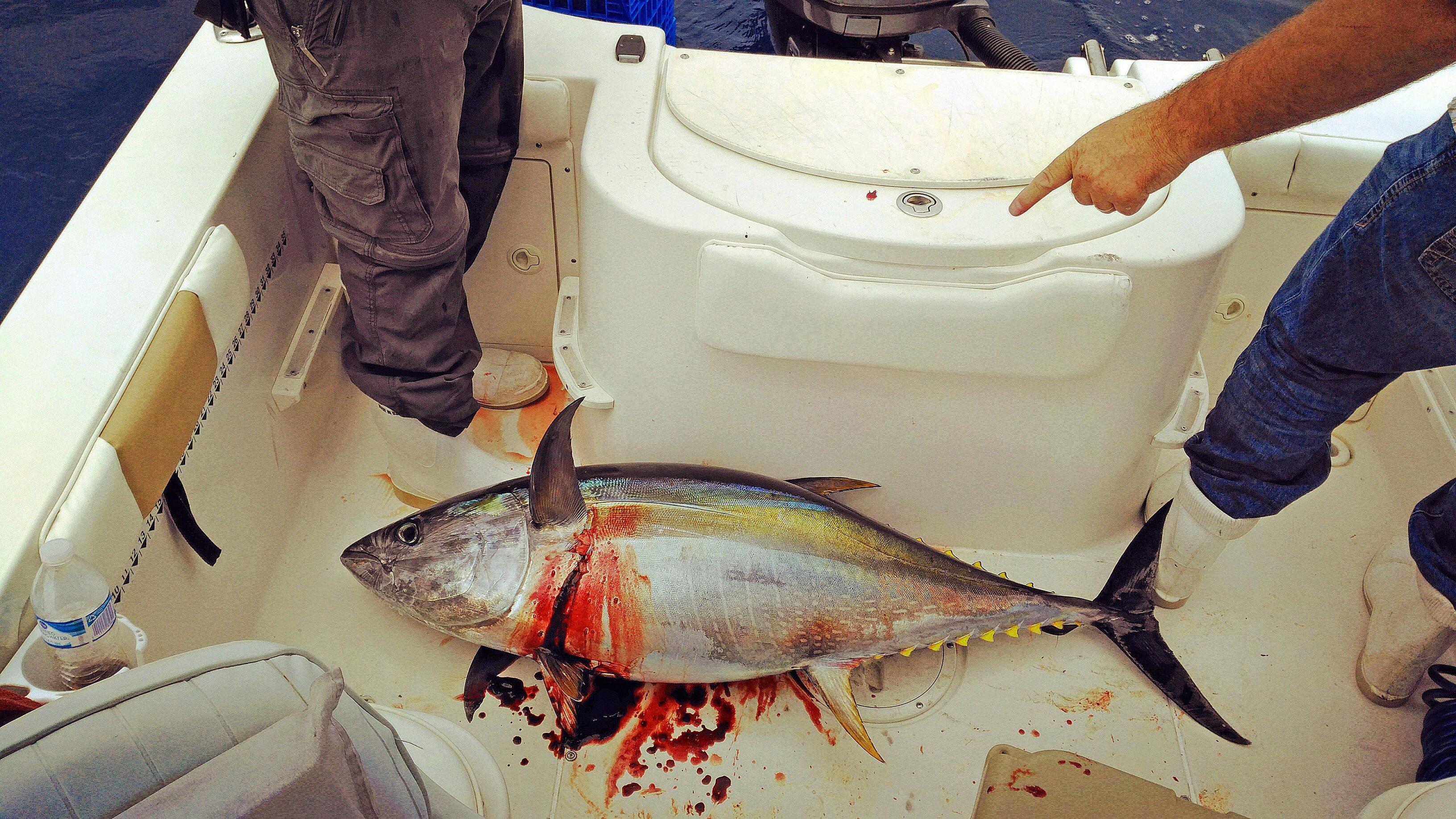 Yellowfin tuna summer 2016.jpg