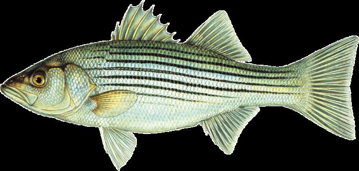 001 fish.png