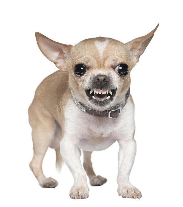 angry-chihuahua-growling-2-years-old-14096201.jpg