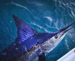 billfish west coast