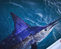 billfish west coast