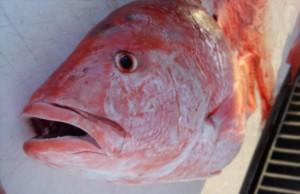 bottom fish