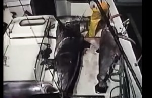 harpoon video