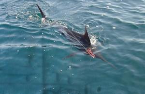 socal billfish