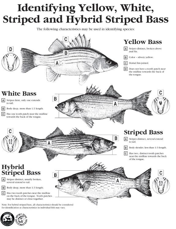 White perch vs white bass