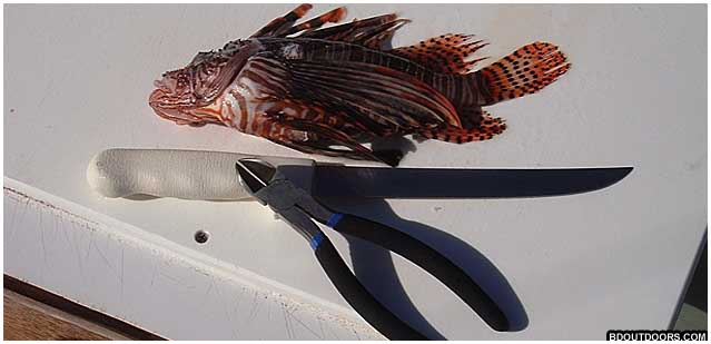 filleting lionfish