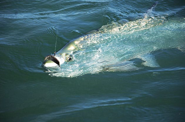 fishing tarpon