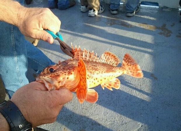cleaning sculpin