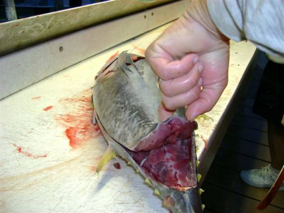 filleting tuna