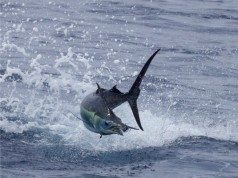 marlin tagging