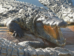 crocodile release