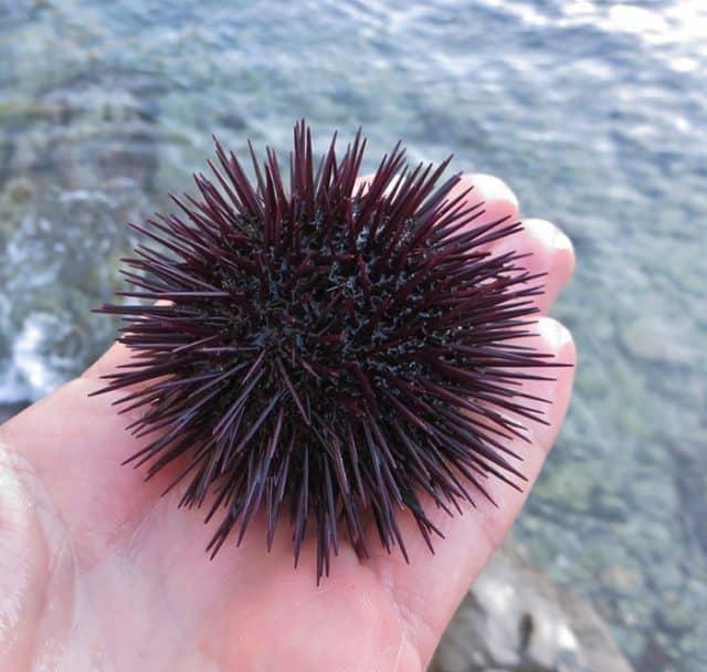 urchin spines
