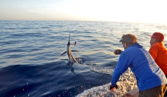 Tuna, Yellows and Marlin