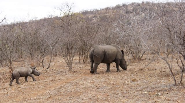 Kruger National-Park Rhino