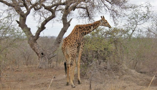 Giraffe roadside