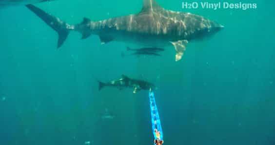 tiger sharks - H2o Hunters