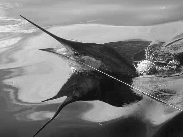 striped marlin bluefin
