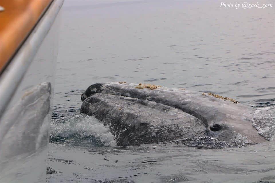 zach zorn whale