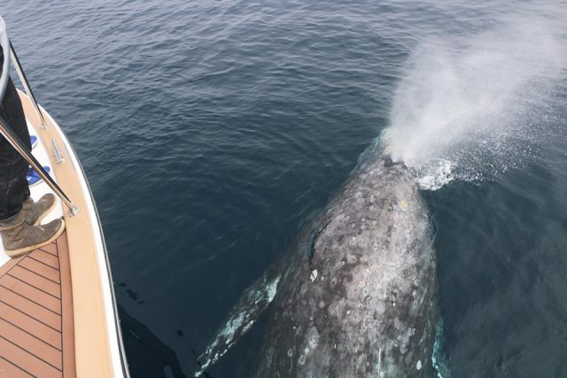 gray whale big - Amazing Whale Encounters Off SoCal