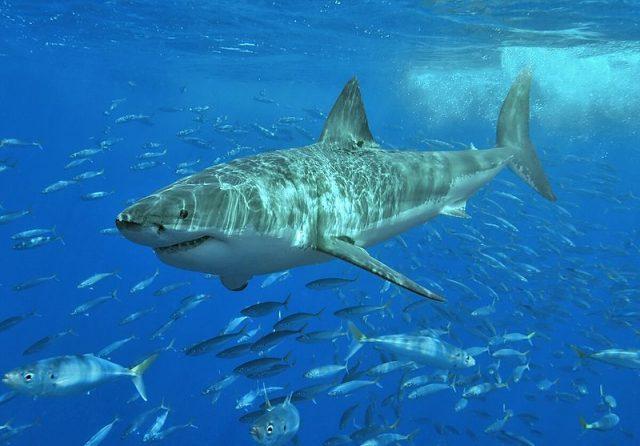 Great white shark Fishing regulations