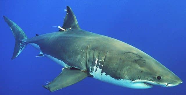 Fishing White Sharks