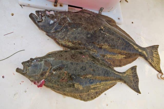 flatfish fishing