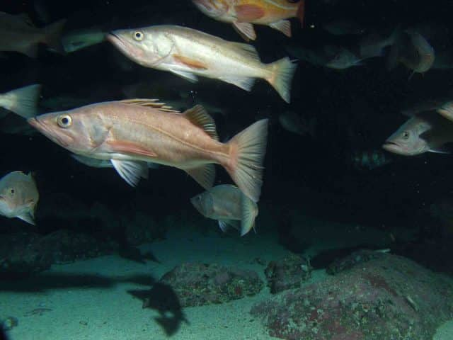Bocaccio rockfish-West Coast groundfish species