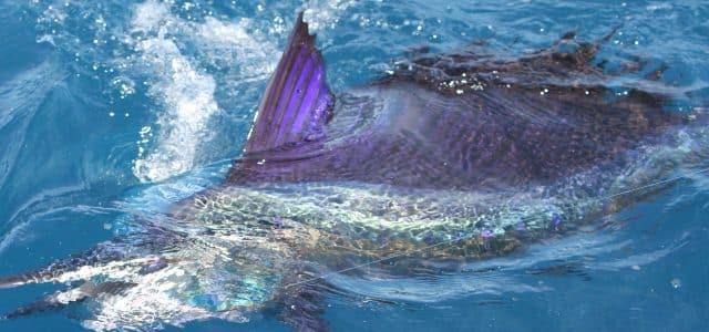 sailfish caught kite fishing