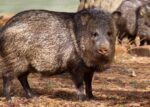 javelina California