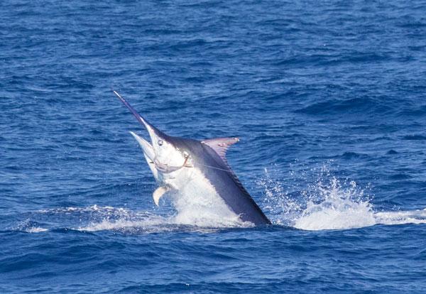 Great Barrier Reef marlin fishing for black marlin