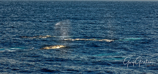 gray whales off San Diego