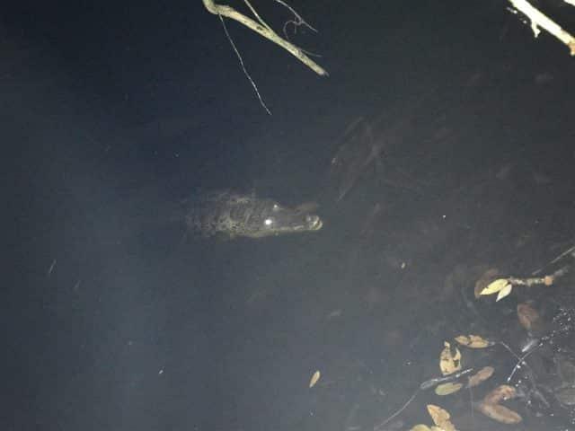 Local crocodile