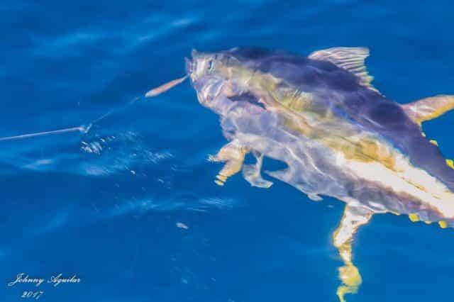 greenstick tuna - greenstick fishing