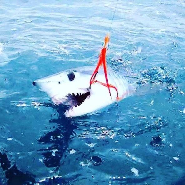 mako shark caught on the fly