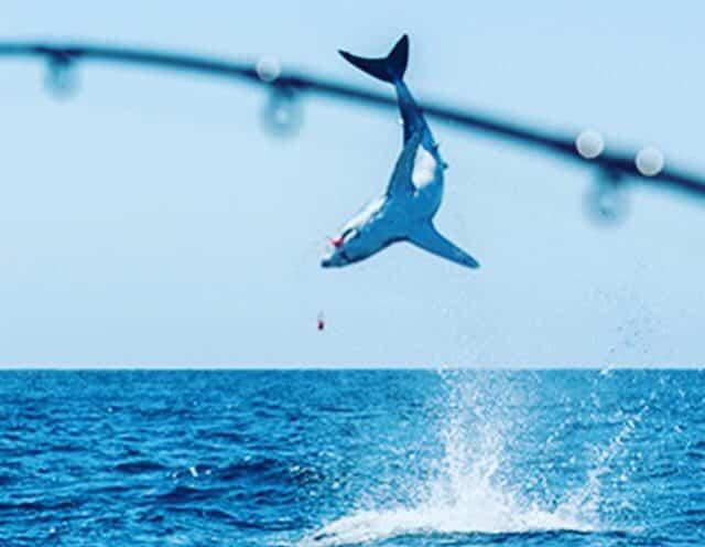 Incredible jumping makos while fly fishing mako sharks