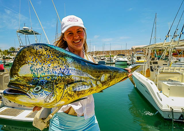Summertime Baja fishing is heating up with dorado like this one from Baja Adventure co. in La Paz