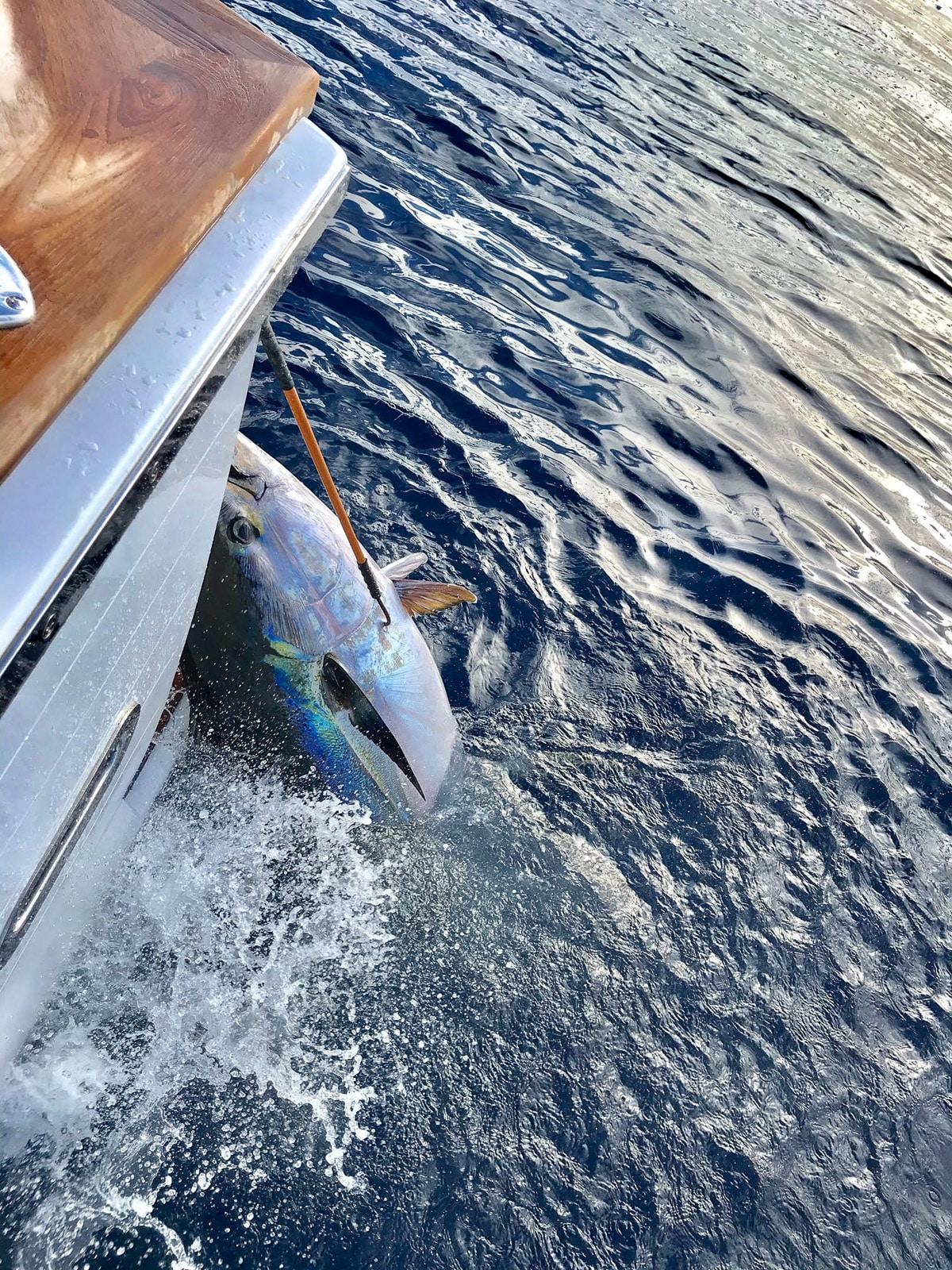 Super Cow Yellowfin Tuna