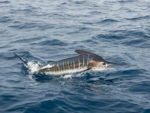 Baja striped marlin