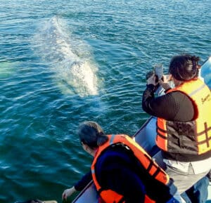 Baja gray whale observation