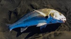 Baja spotfin croaker