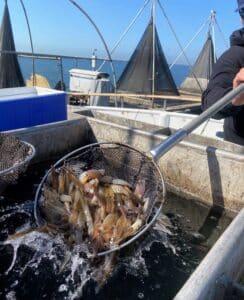 live bait squid