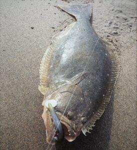 shoreline halibut