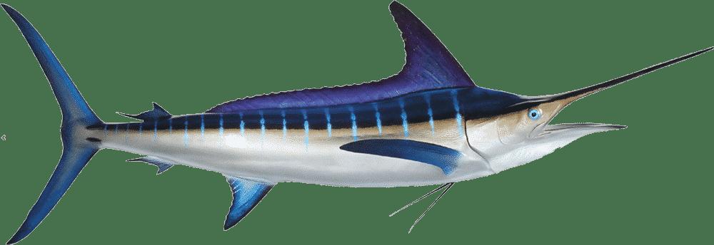 striped marlin tagging