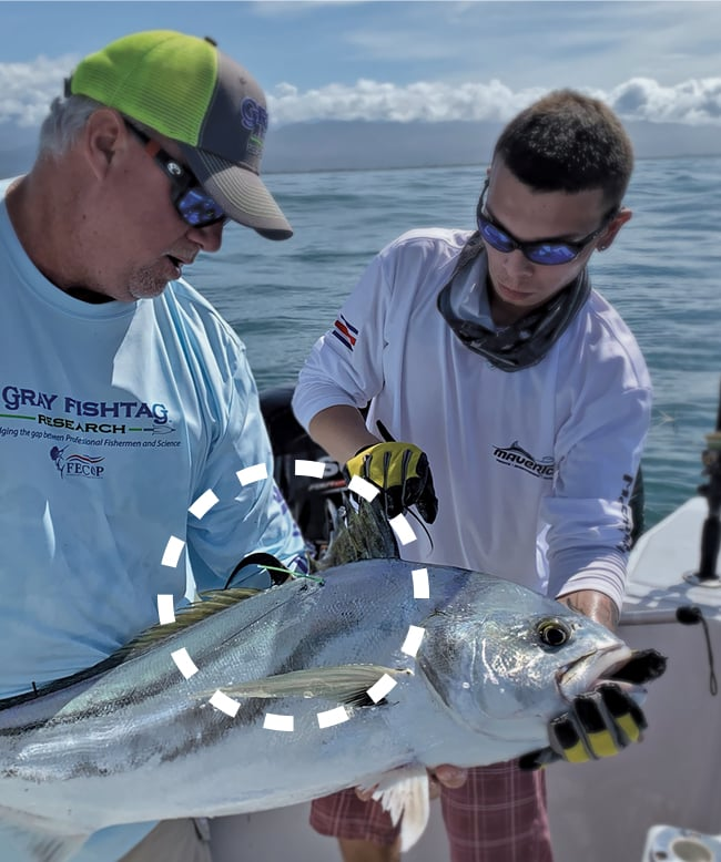 tagging roosterfish