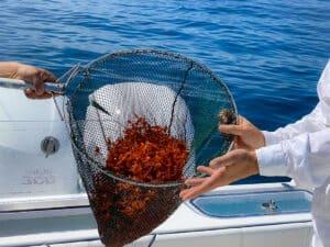 Los Cabos red crab